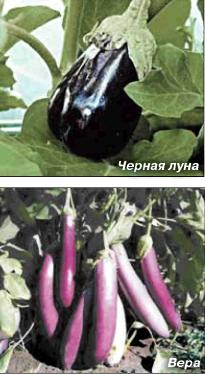 Сажаем баклажаны, сельдерей, томаты