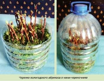 Может ли расти абрикос на Северо-Западе России?
