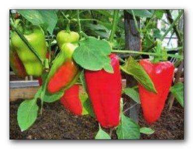 Почему не всходят семена перцев?