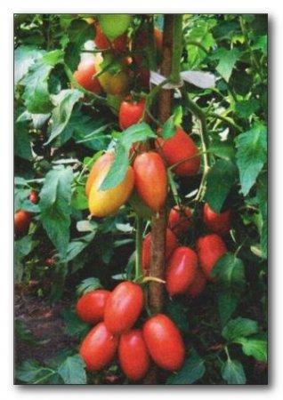 Выращивание томатов в мешках в открытом грунте 1