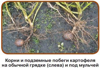 Картофель под мульчей