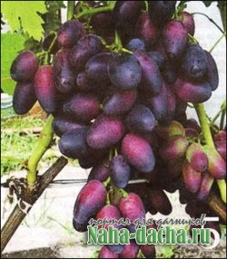 Топ 5 северных сортов винограда