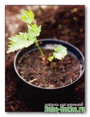 Укоренение виноградных черенков