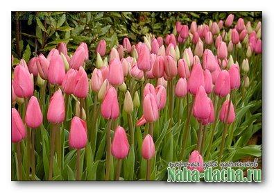 Как вырастить дома тюльпаны к 8 марта