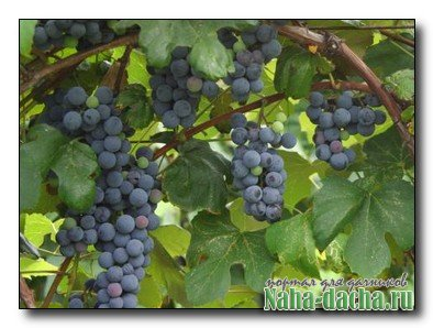 Уход за виноградом в мае