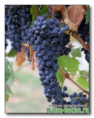 Уход за виноградом в сентябре
