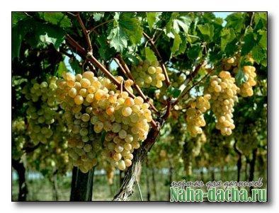 Уход за виноградом в августе » Дача своими руками: строим