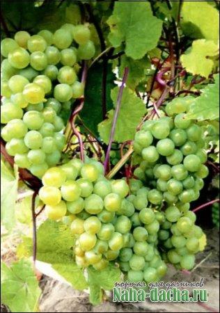 Виноделие в северных широтах России