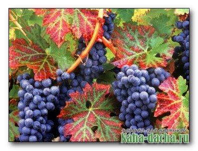 Итог виноградного сезона