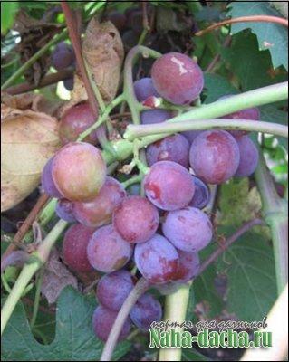 Виноград сорта Вишенка