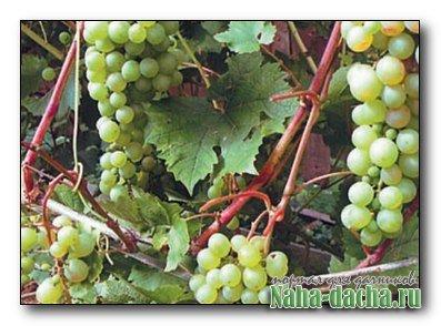 Виноград без милдью
