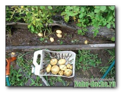 Технология выращивания картофеля под пленкой