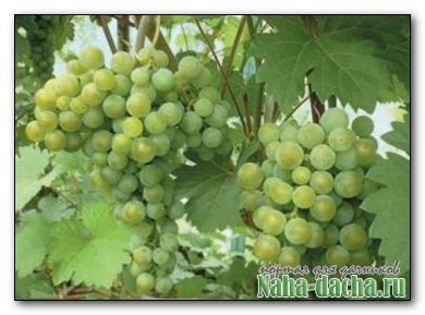 Виноград без полива