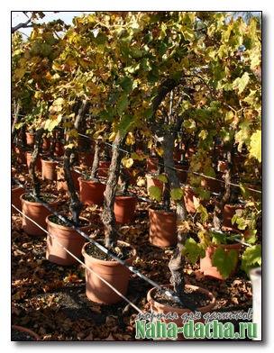 2 урожая винограда в год