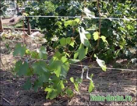 Практические советы виноградаря