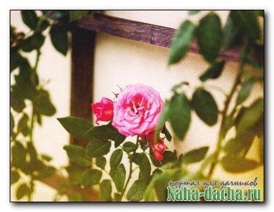 Шпалера для розы