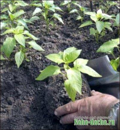 Высаживаем рассаду перца из теплицы в открытый грунт