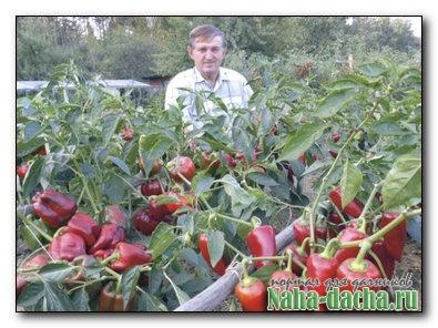 рецепт большого урожая