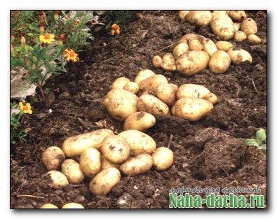 Делятся опытом по выращивании картофеля
