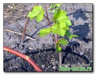 Один из способов размножения винограда