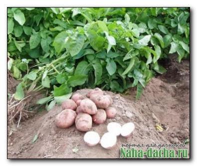 Картофель с ускорением