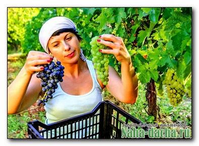 Виноградные секреты наших читателей
