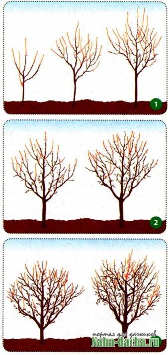 Каждому дереву - своя обрезка
