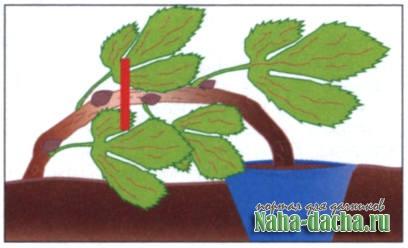 Мой опыт выращивания саженцев винограда