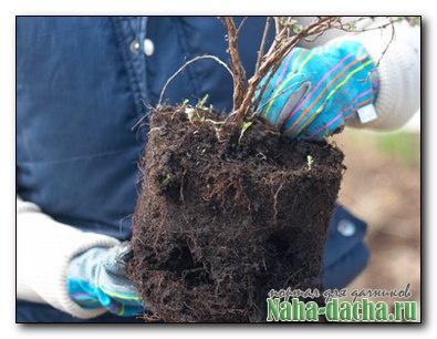 Как посадить кустарник с закрытой корневой системой