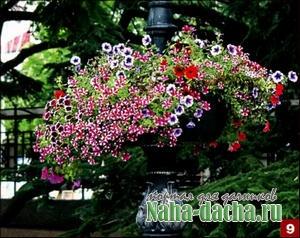 Петунии в саду фото