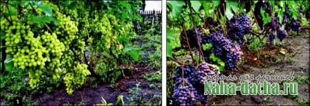 Правила по выращиванию винограда