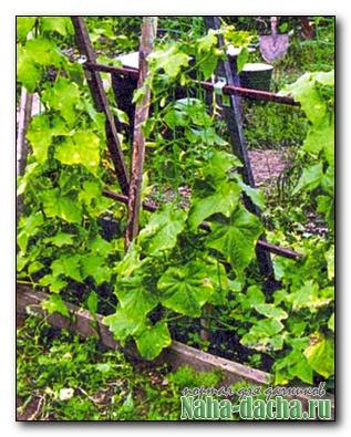 Упрощенный метод выращивания огурцов