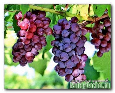 формирования куста винограда