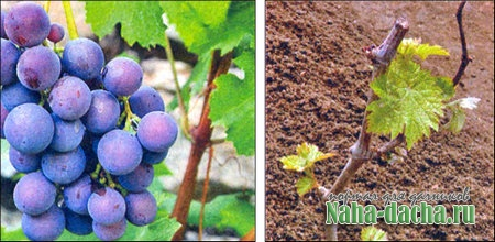 Заготавливаем черенки винограда