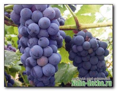 Собираем и храним урожай винограда