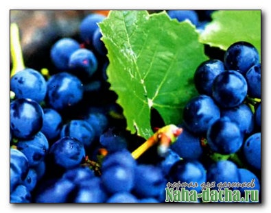 Виноград атаковали листовертки