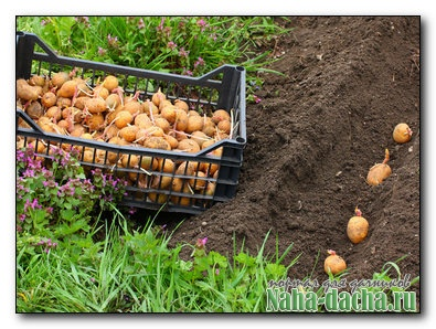 Выращивании картофеля - предпосевная подготовка клубней