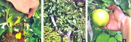 Прививка, перепрививка, поросль, размножение садовых деревьев