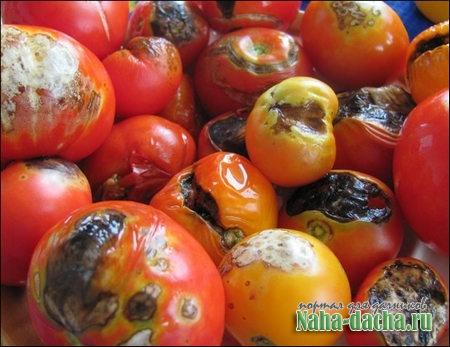 Как бороться с фитофторозом, фитофторой томатов