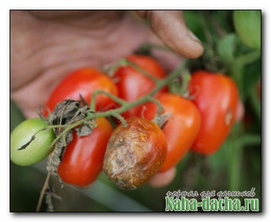 Как бороться с фитофторой томатов
