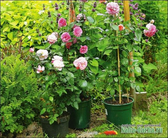 Посадка и пересадка роз