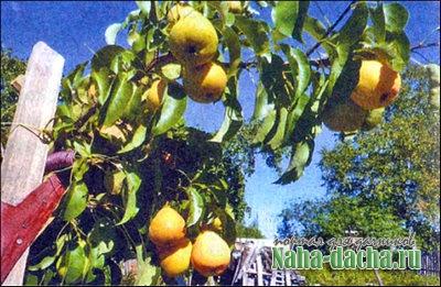Подпорка для плодовых деревьев