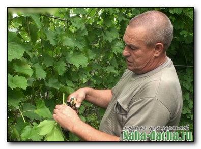 Обрезка винограда в августе