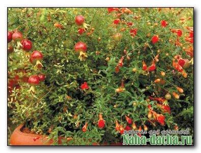 Гранат  уход и выращивание в домашних условиях