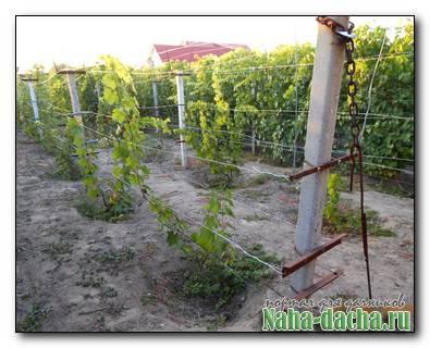 Подкормка и полив винограда