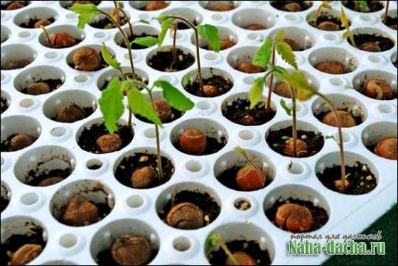 Как вырастить фундук на даче