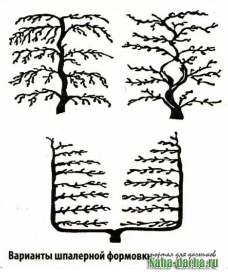 Шпалеры для плодовых деревьев