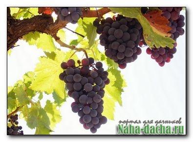 Преждевременное пожелтение листьев винограда