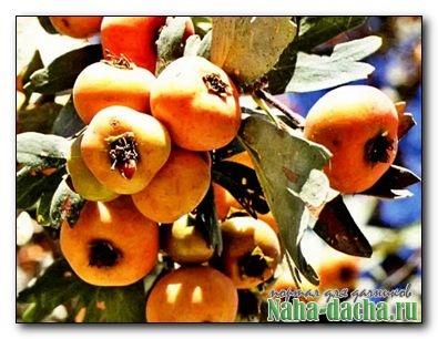 Боярышник: сорта, выращивание и уход
