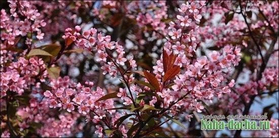 дерево для сада-черемуха
